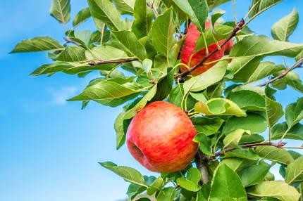 juicy red apple between green leaves