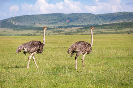 Ostrich birds are grazing on the meadow in the countryside of Ke