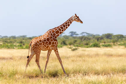 Somalia giraffe goes over a green lush meadow