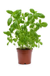 Studio shot of a fresh green basil bush in a flowerpot isolated on a white background