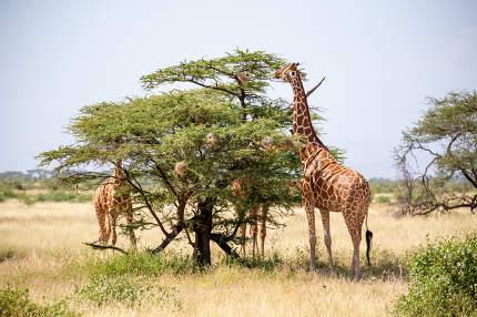 The Somalia giraffes eat the leaves of acacia trees