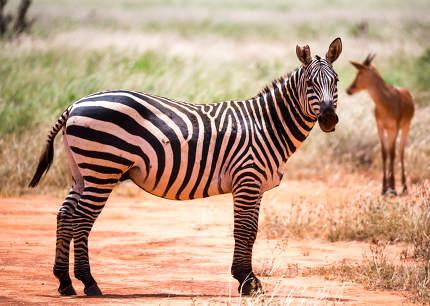 Zebras in the grass landscape of the savannah of Kenya