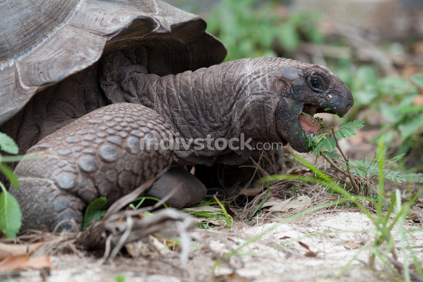 A big turtle between the gras