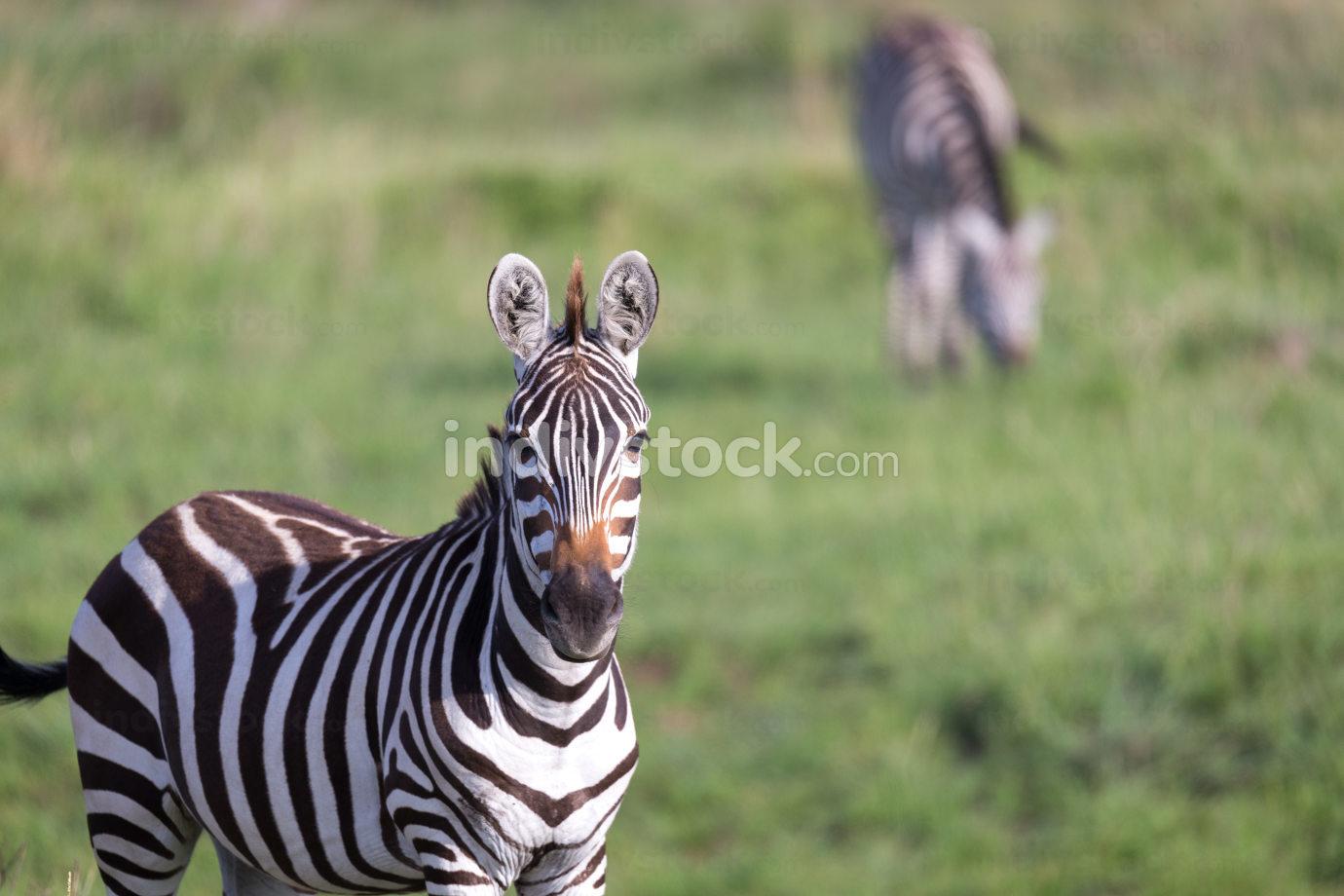 A closeup of a zebra in a national park