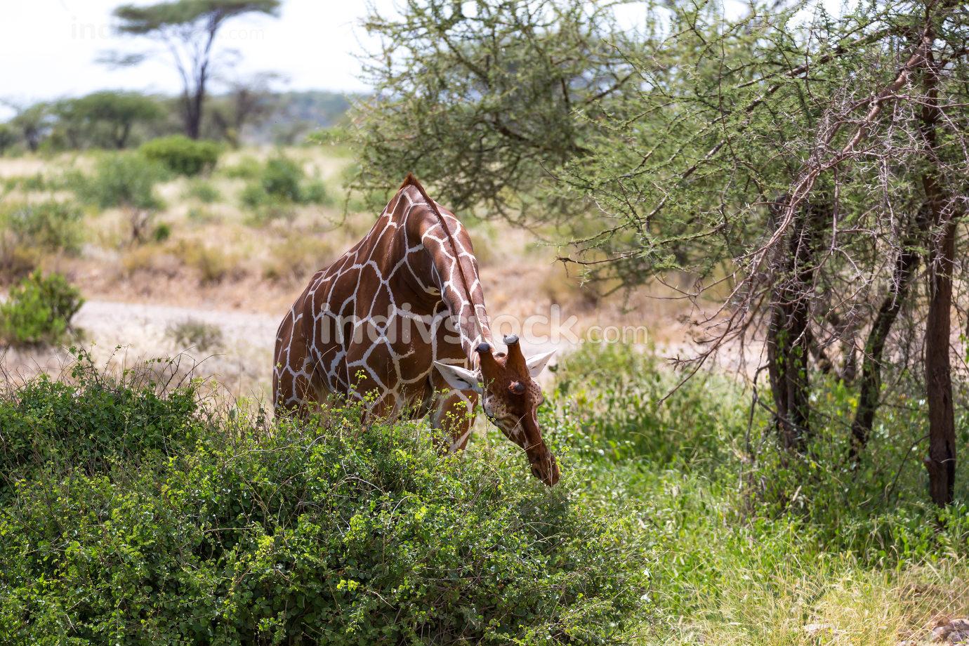 A giraffe eats the leaves of a bush