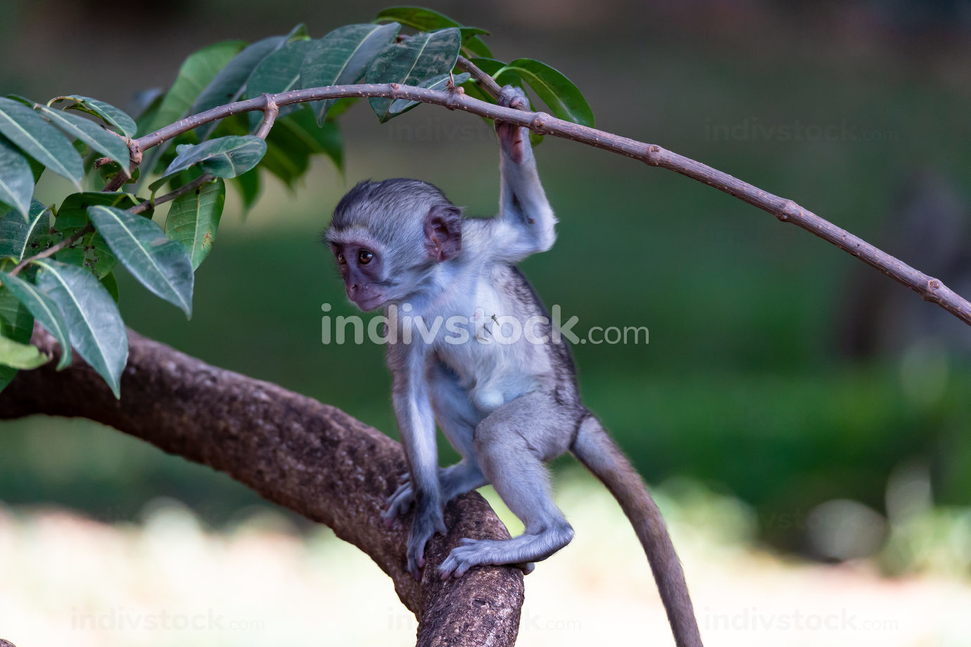 A monkey climbs around on a branch