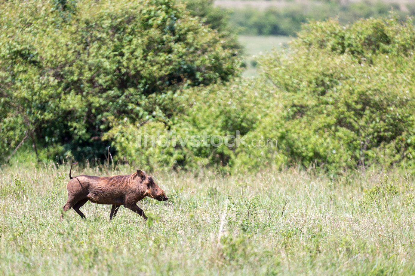A warthog in the middle of the savanna of Kenya