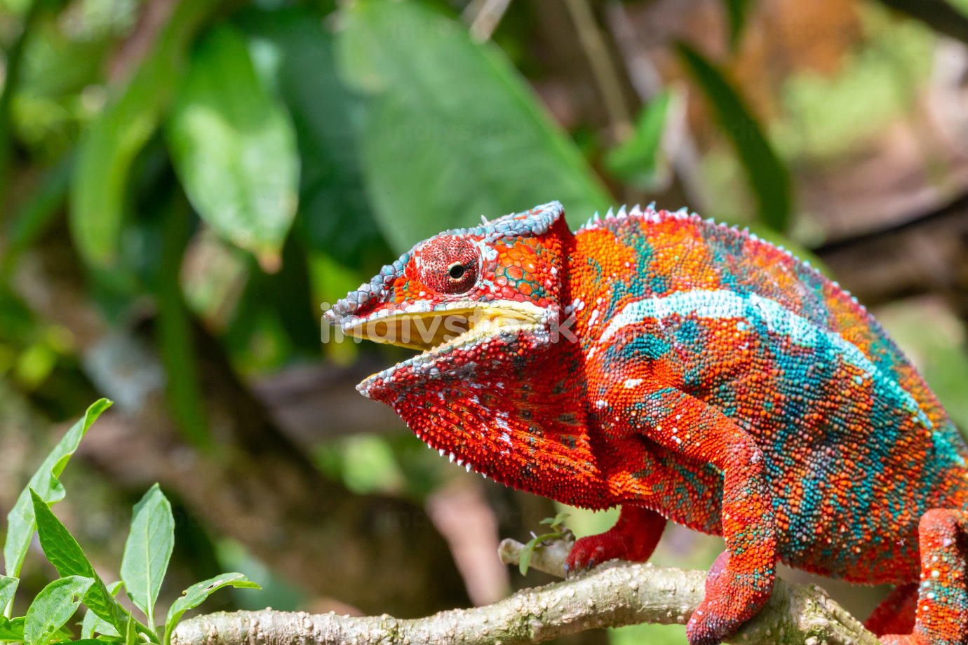 Colorful chameleon on a branch in a national park on the island