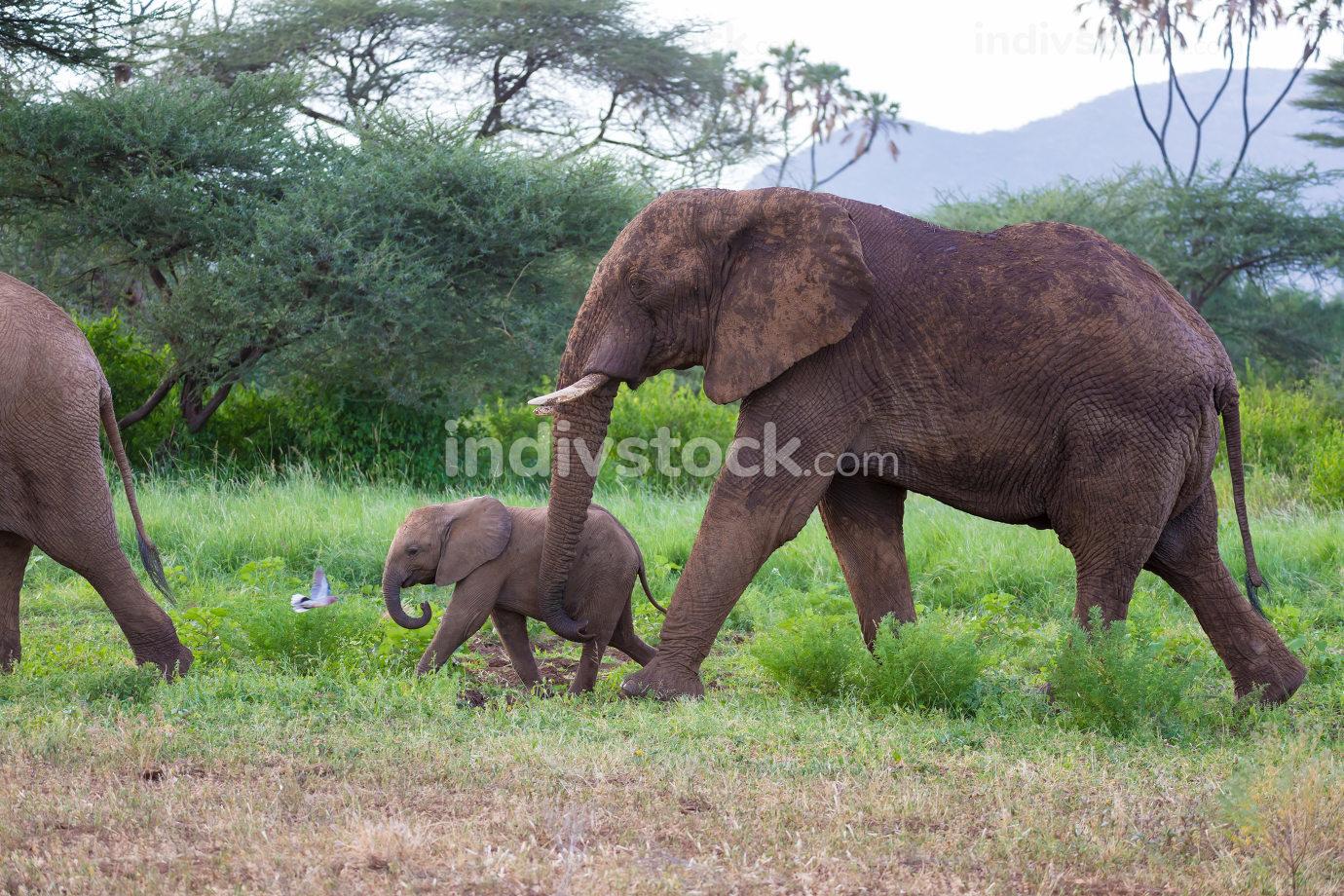Elephants walk among the trees and shrubs