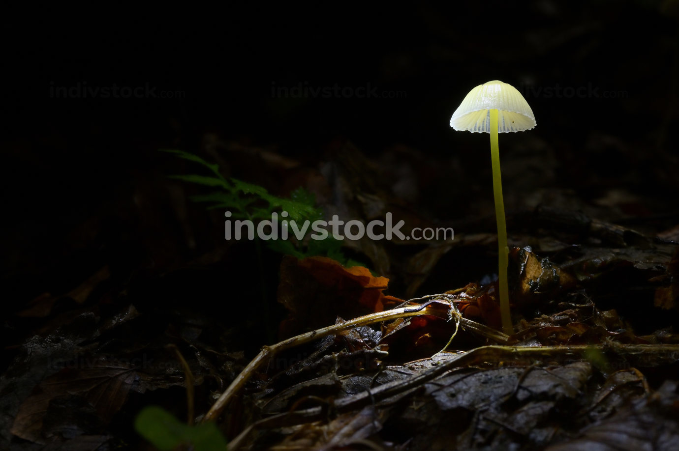 Glowing Mushroom Mycena In Dark Forest