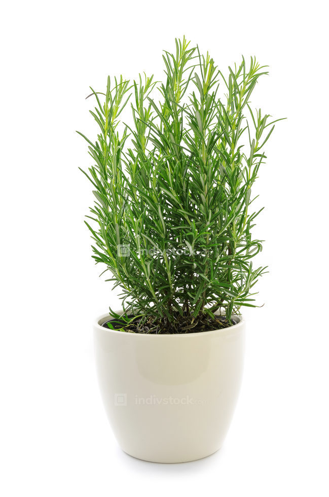Herbs of rosemary in a pot