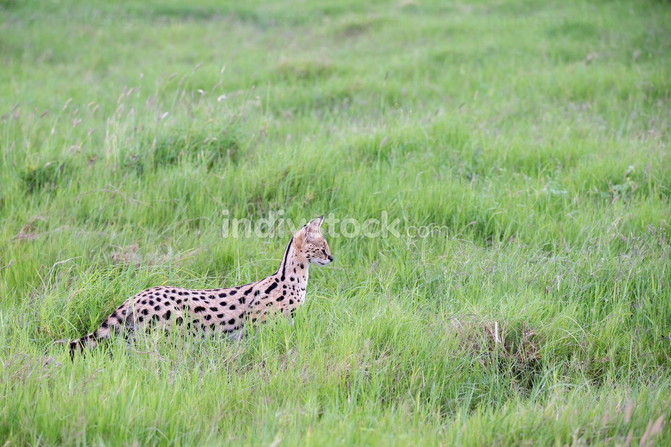 Kenya, a serval cat in the grassland of the savannah in Kenya