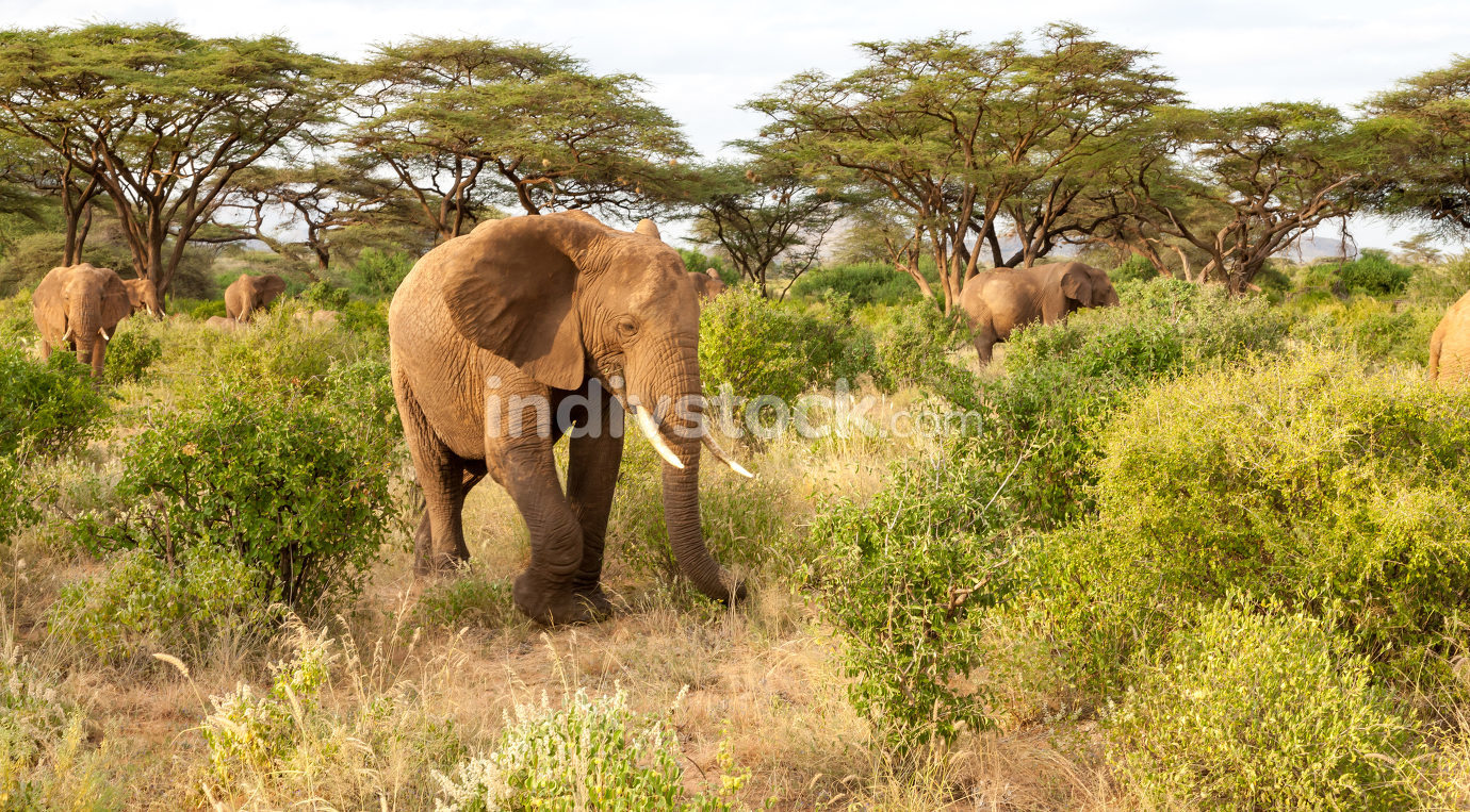 Many elephants go through the bushes in a jungle