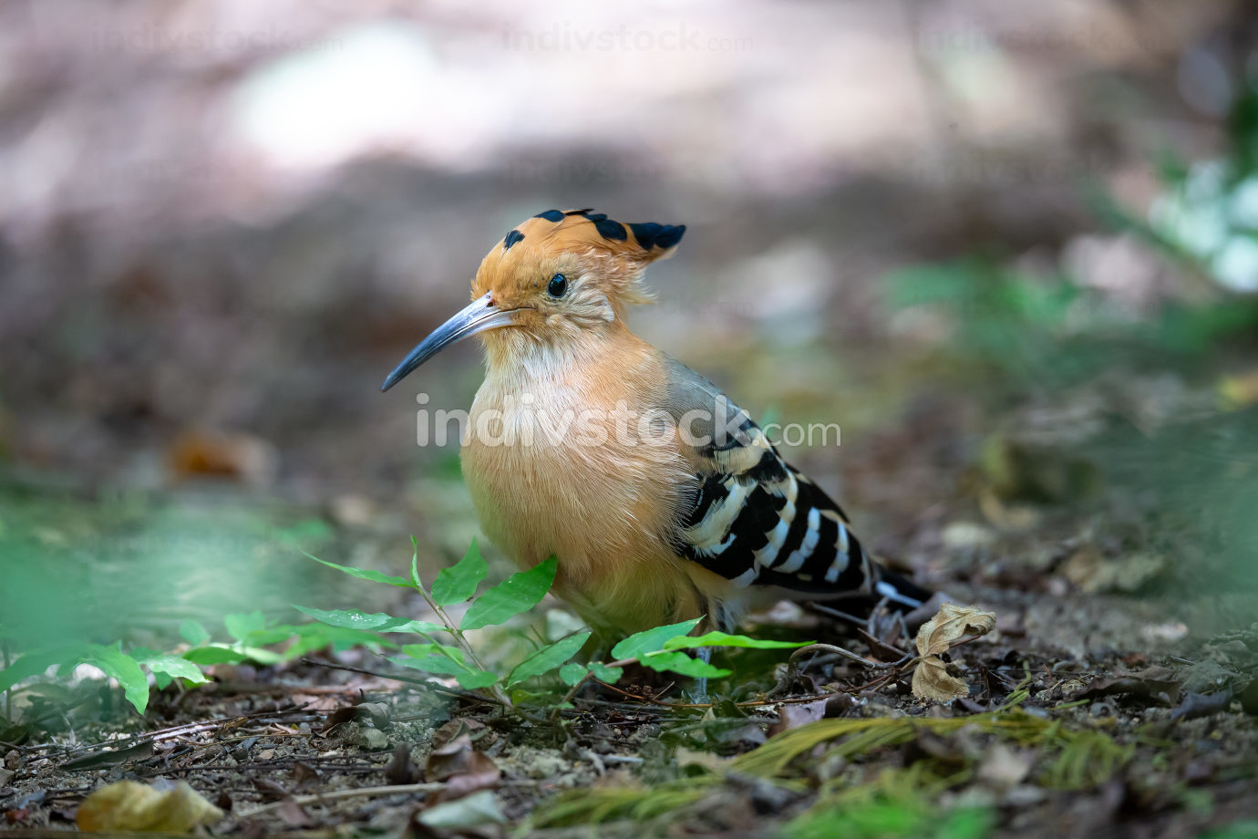 one endemic Madagascar hoopoe bird, with a colorful plumage