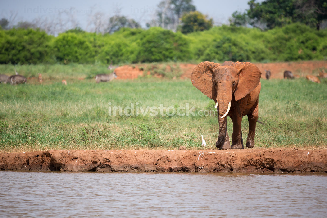One red elephant is drinking water on the waterhole