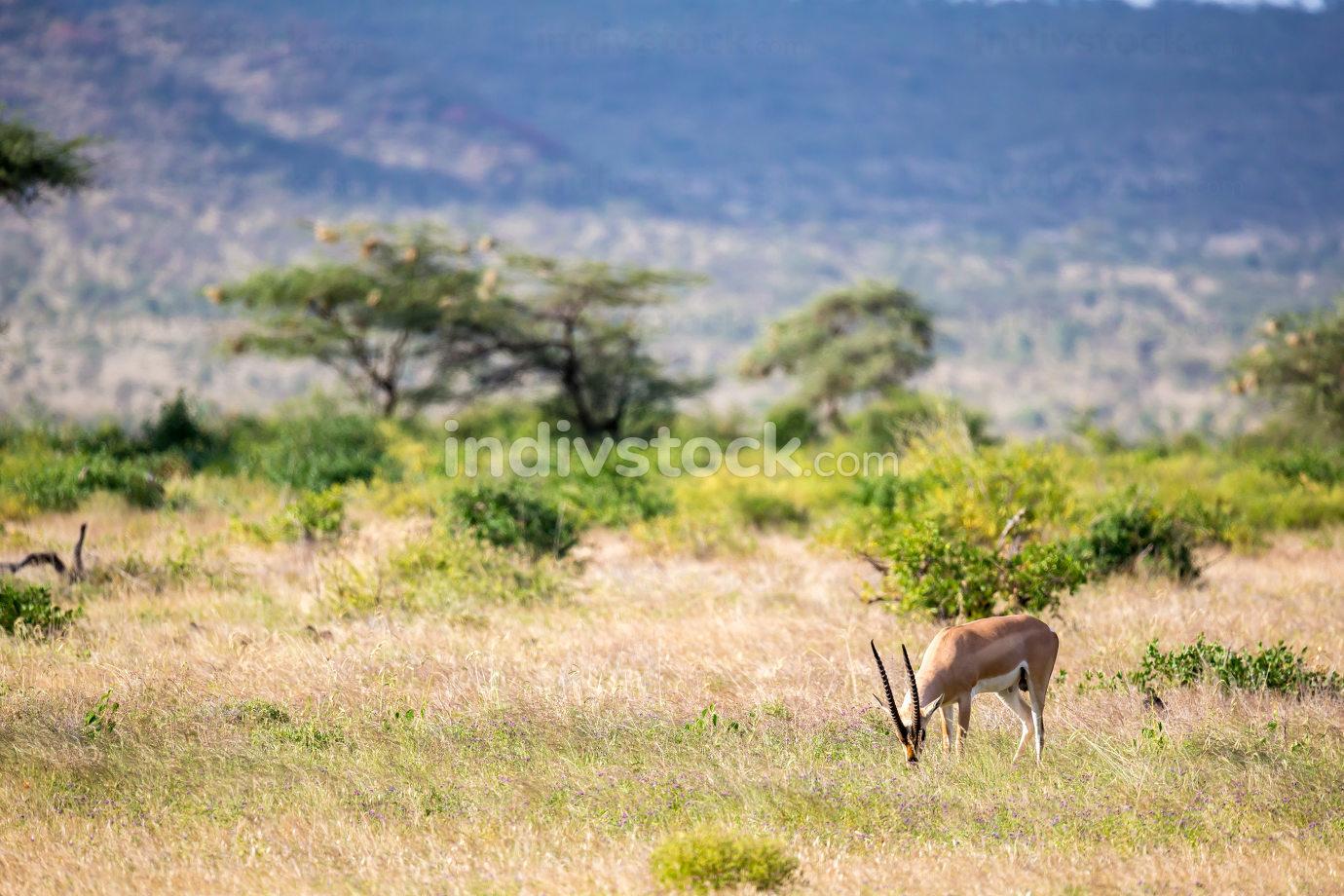 Some antelopes in the grass landscape of Kenya
