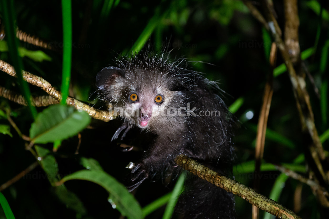 The rare Aye-Aye lemur that is only nocturnal