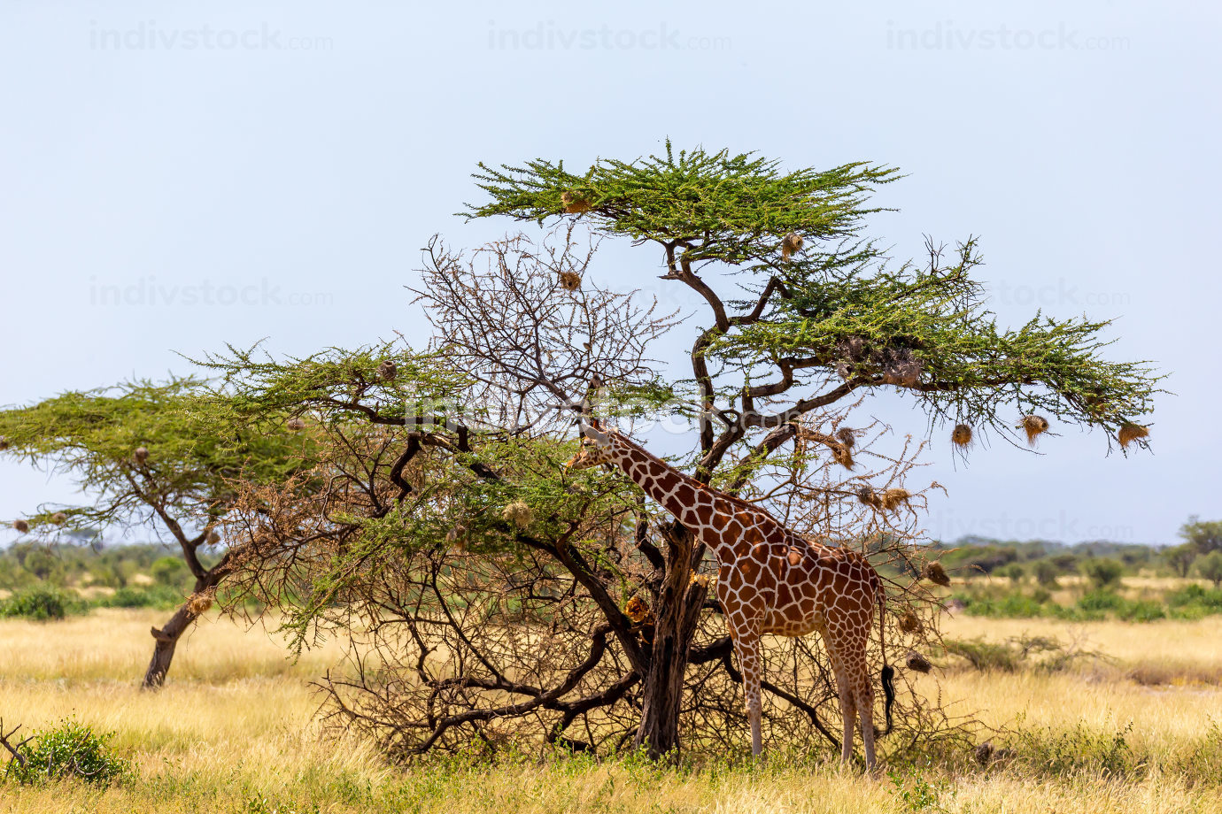 The Somalia giraffes eat the leaves of acacia trees