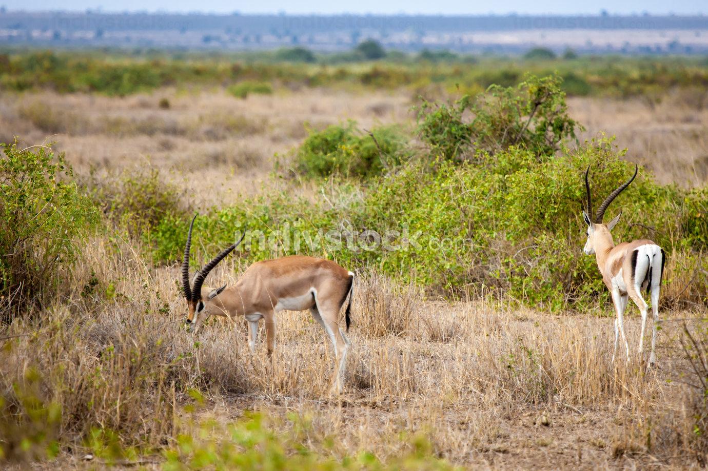 Two antelopes eating grass in the savannah of Kenya