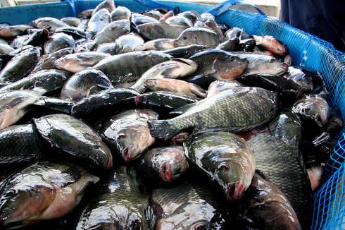 Brazil, Cairu, 2007, breeding tilapia fishing