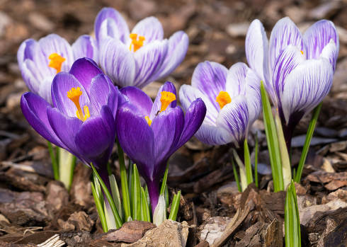 Crocus flowers of spring