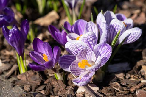 Crocus flowers of spring