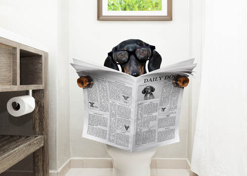 dachshund or suasage dog, sitting on a toilet seat with digestion problems or constipation reading the gossip magazine or newspaper