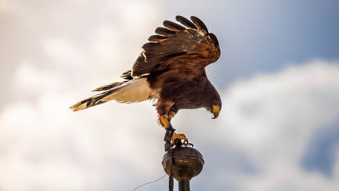 Freedom, falcon climbed to the tip of a belfry in spain, is read