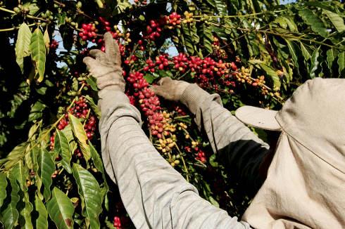 itabela, bahia Brazil, april 23, 2010, Coffee harvest in farm plantation