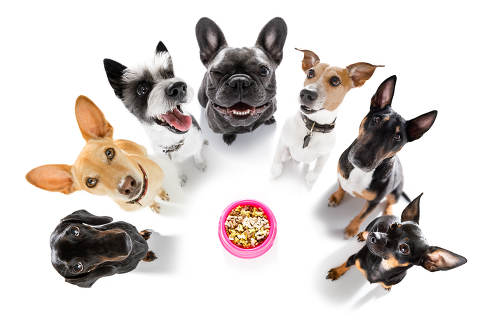 row of dogs as a group or team , all hungry in front of food bowl , isolated on white background
