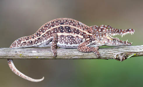 Small colorful chameleon with crocodile head resting in a tree
