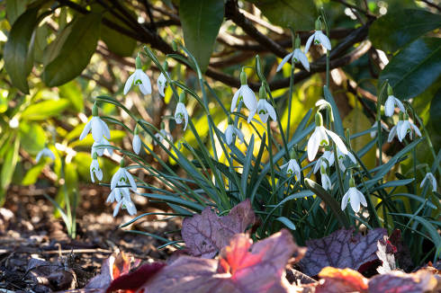 Snowdrops, close up image of the flowers of spring