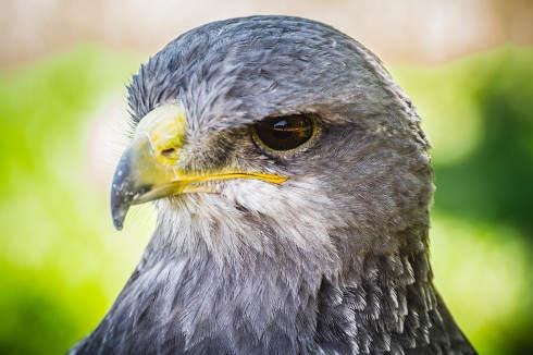 Spanish falcon in a medieval fair raptors