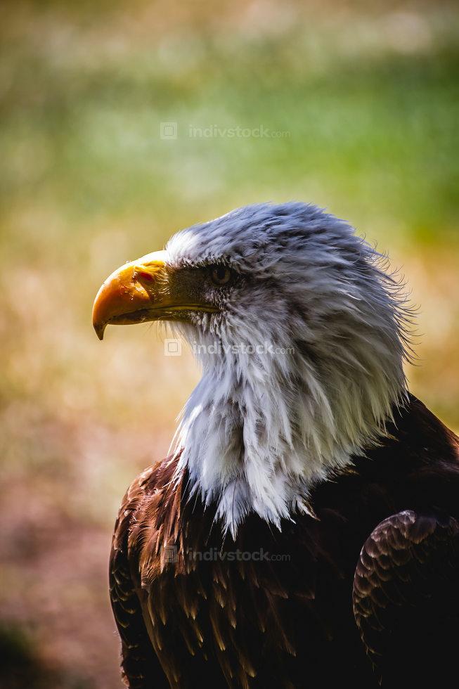 American white-headed eagle