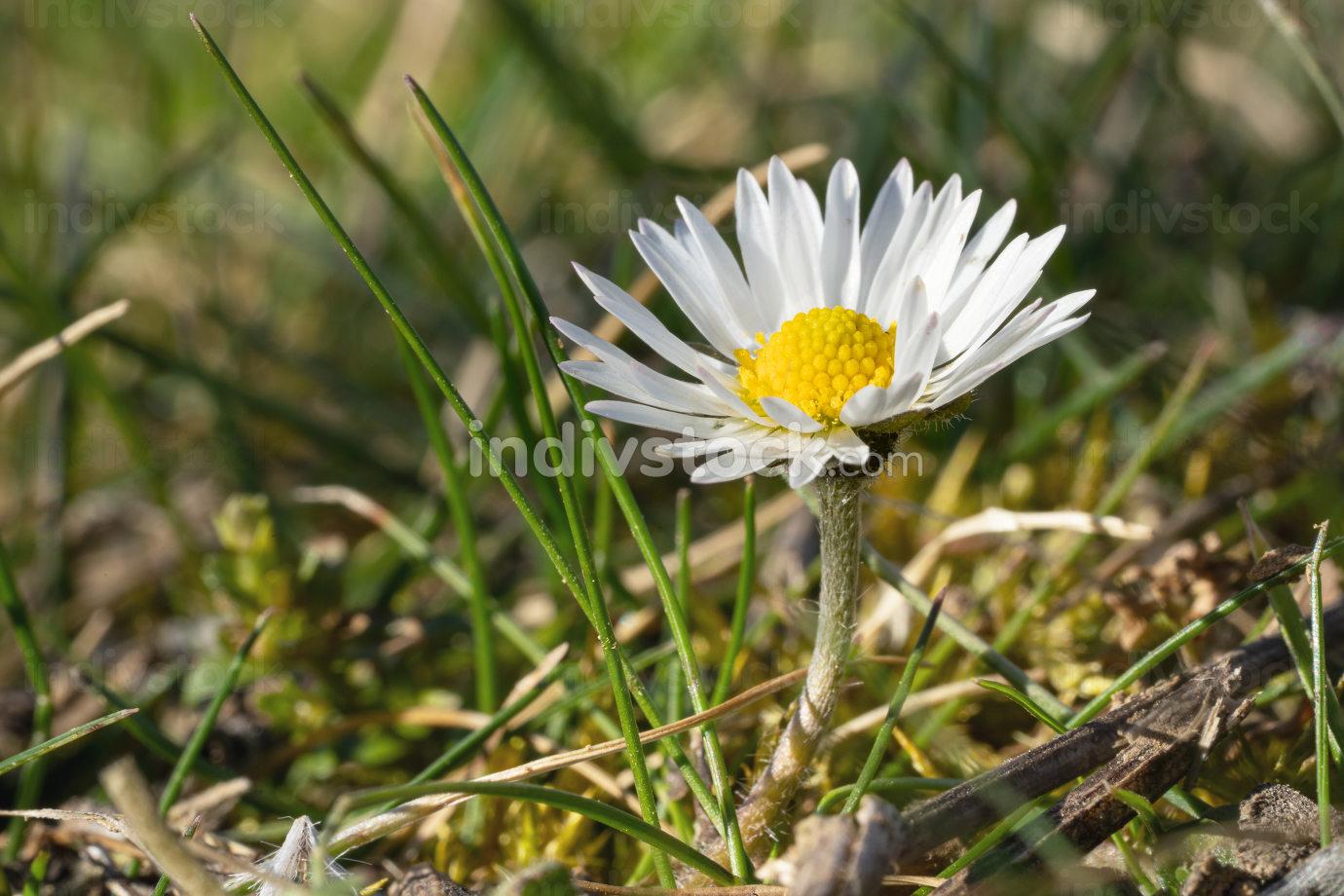 Common daisy Bellis perennis , the flower head