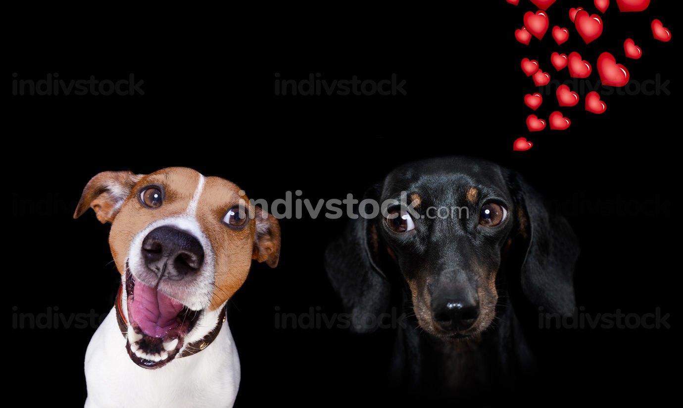 couple of dogs in love , looking each other in the eyes, with passion , pink red rose in the middle, isolated on white background