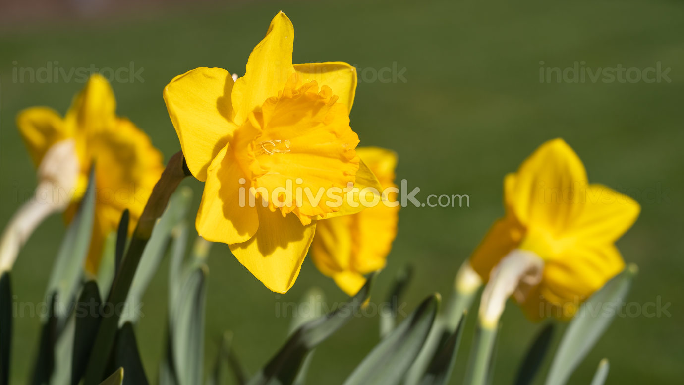 Daffodil Narcissus pseudonarcissus , flowers of springtime