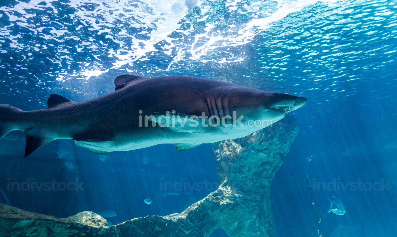 dangerous and huge shark swimming under sea