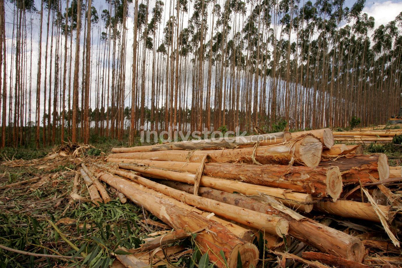 eunapolis, bahia Brazil, november 26, 2010, planting of eucalyptus trees for pulp production in a factory