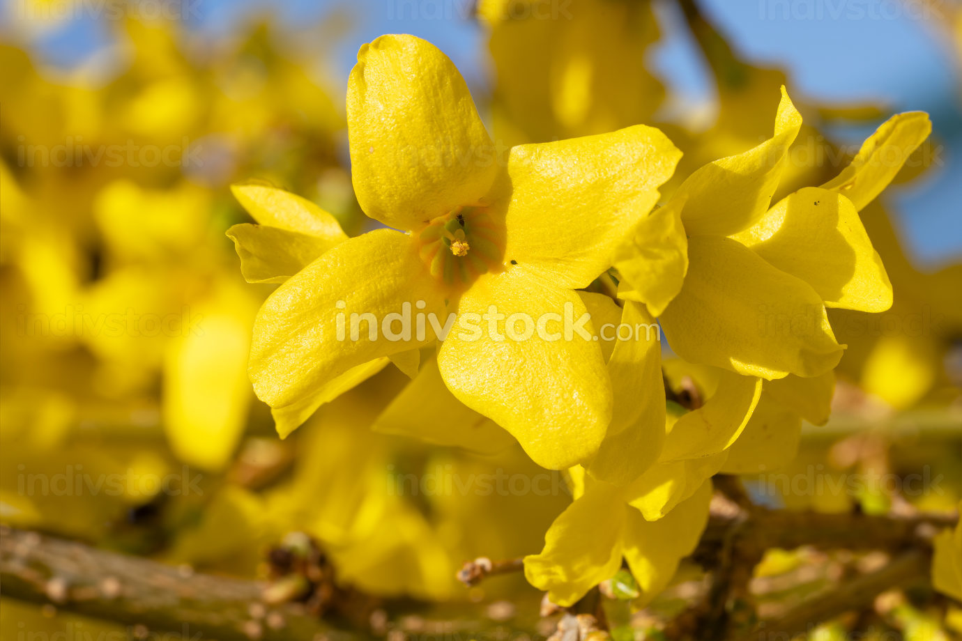 Forsythia  Forsythia  intermedia , flowers of springtime