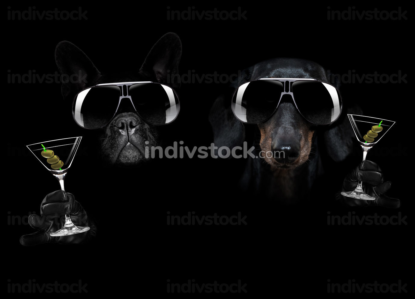 french bulldog and dachshund dog in dark black isolated background ,with martini cocktail drink celebrating and toasting, looking cool