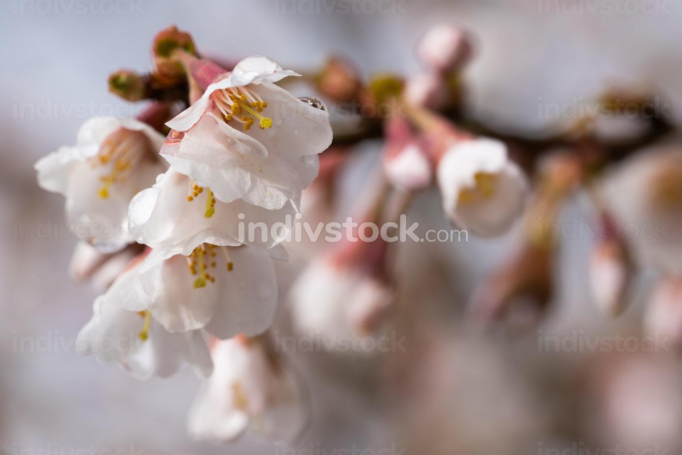 Fuji cherry Kojou-no-mai Prunus incisa