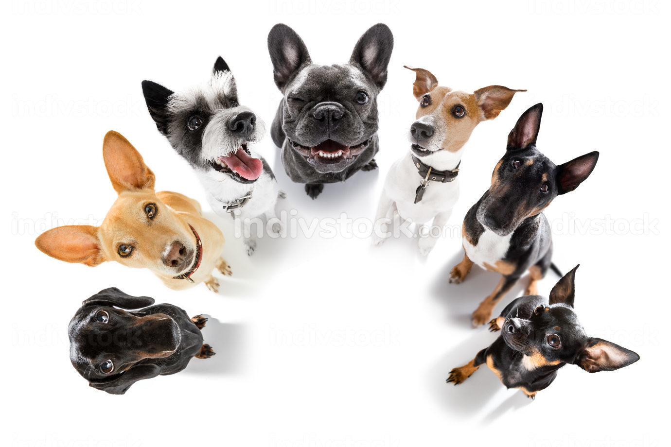 team group row of dogs waiting patient for a walk isolated on white background