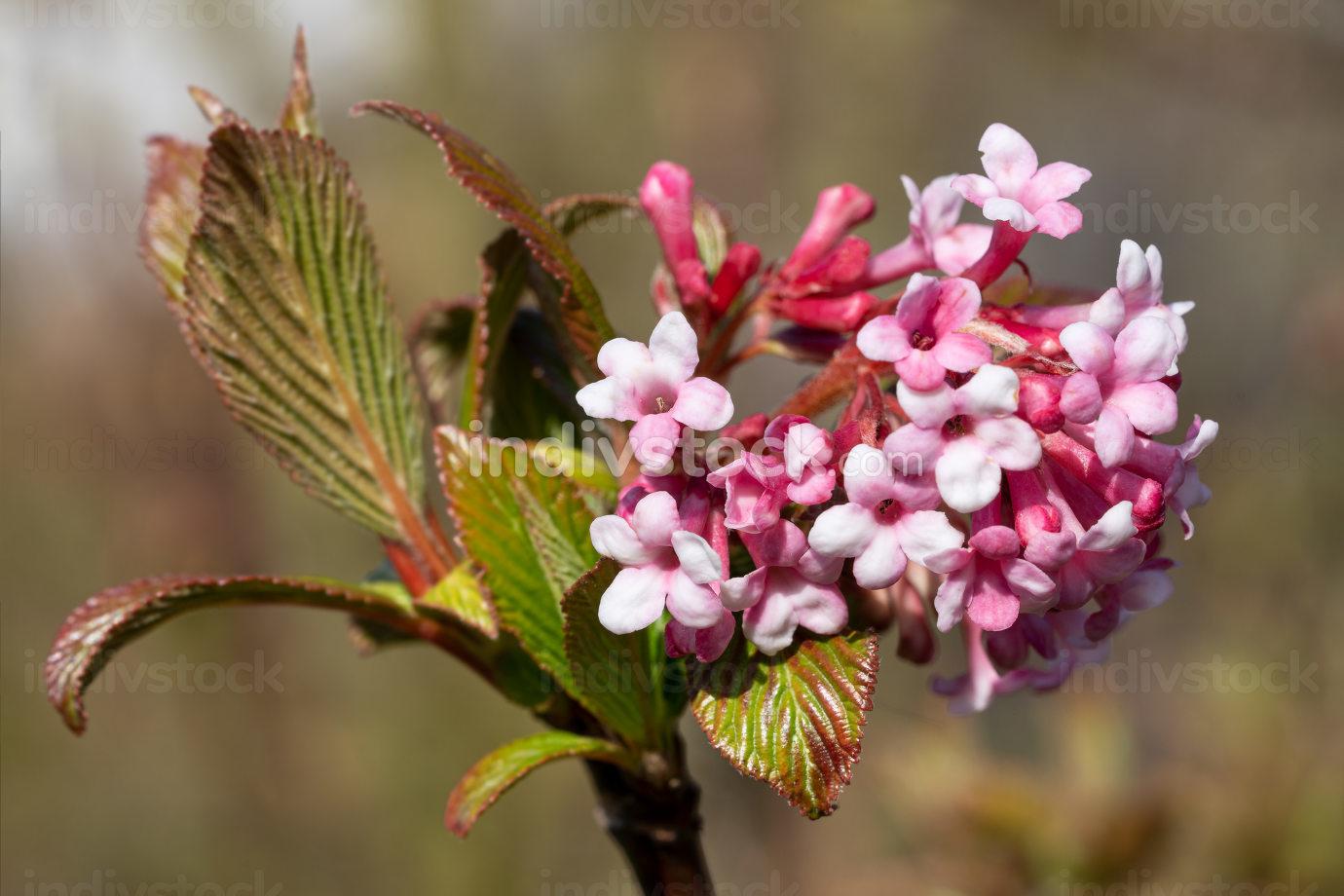 Viburnum Viburnum farreri , flowers of the gardens