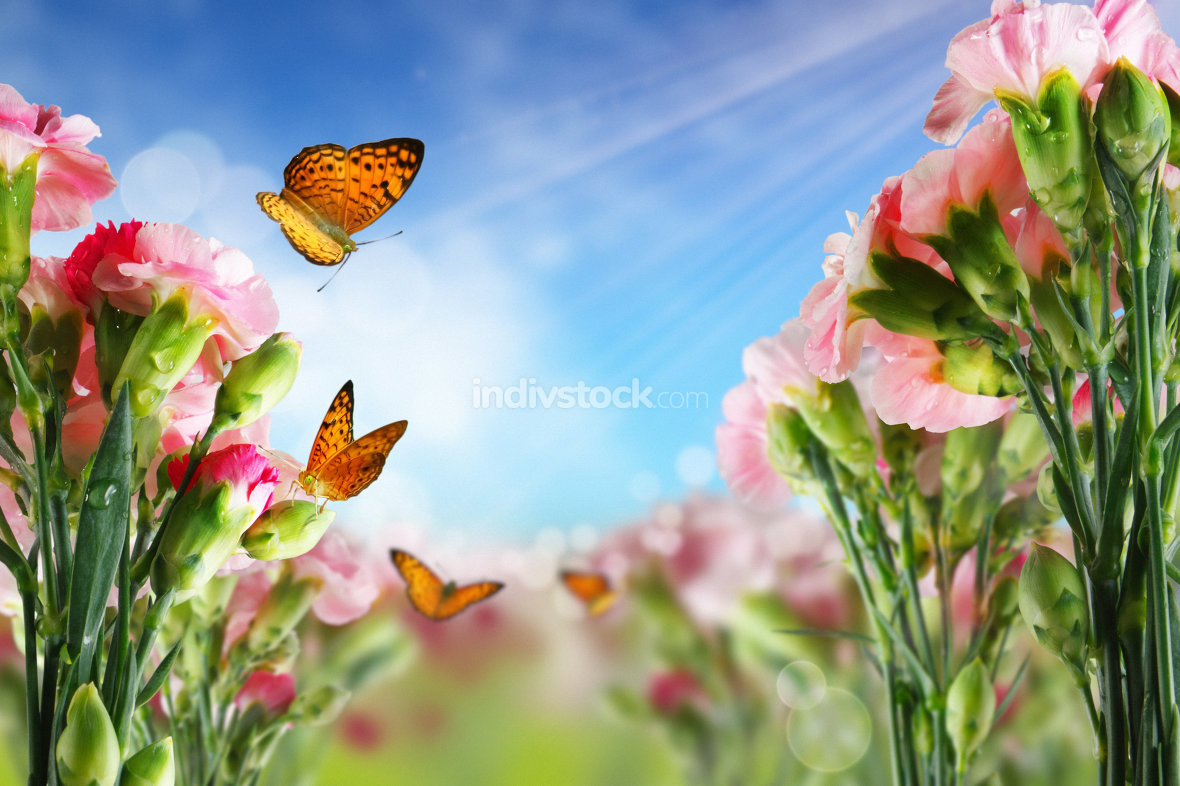 Beautiful Carnation flowers and butterflies